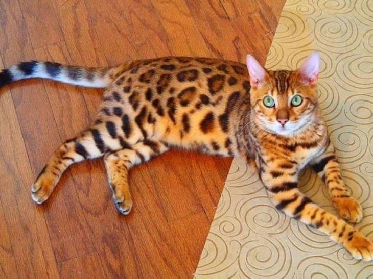 Бенгальская домашняя кошка домашние питомцы, животные, интересное, кошки, самые дорогие, собаки, фото