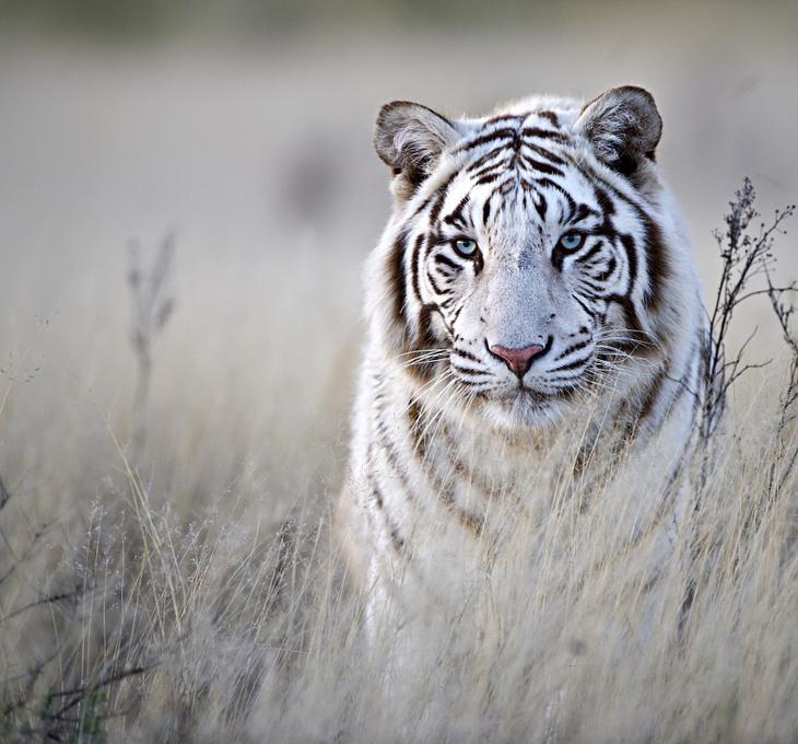 Тигры – дикий животный магнетизм в 30 потрясающих фотографиях 2