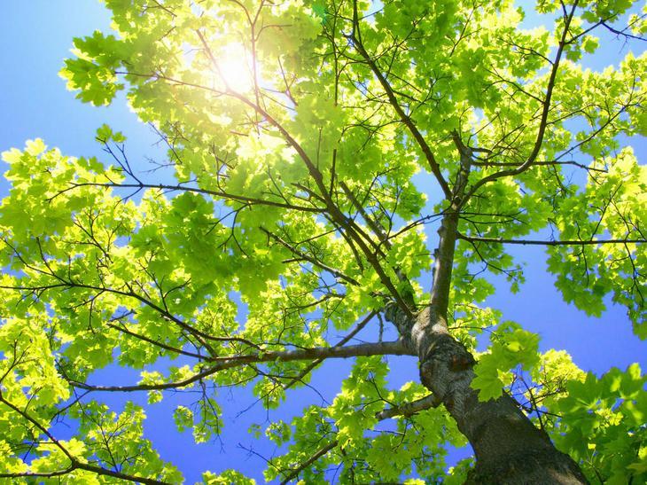 Свойства дерева Клен. Целебная сила дерева. Как деревья нас лечат. Фото с сайта NewPix.ru