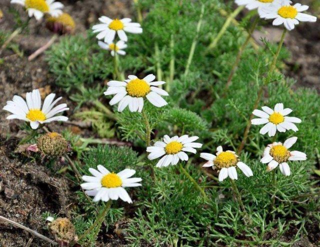Беспрекословные почвопокровные – лучшие растения для садовых дорожек