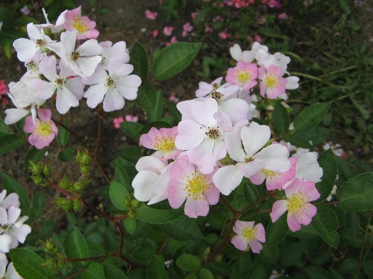 Королева цветов из семян, или как посадить семена розы