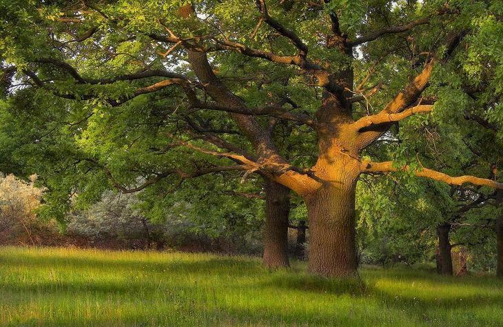 Свойства дерева ДУБ. Целебная сила дерева. Как деревья нас лечат. Фото с сайта NewPix.ru