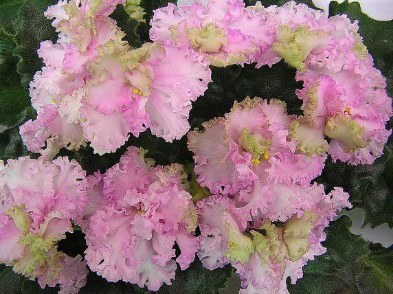 Фиалка Rosie Ruffles: описание и фото цветка