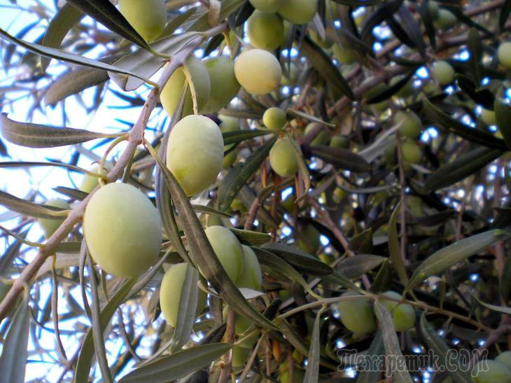 Земля для оливкового дерева