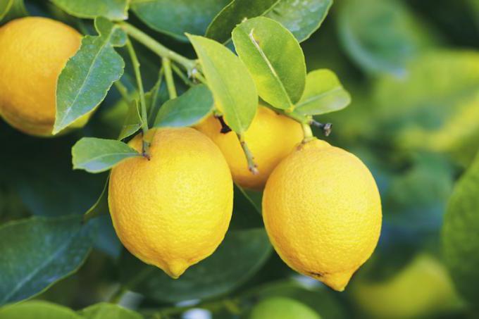 Правила ухода за декоративным лимоном в горшочке