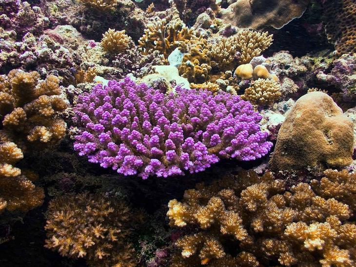 Коралл acropora tenuis
