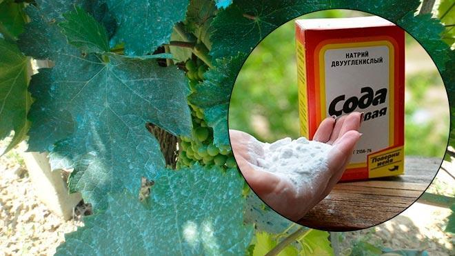 Правила обработки винограда пищевой содой