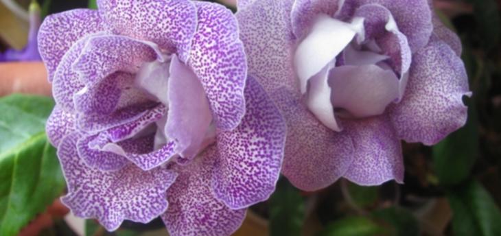Глоксиния Королевская (Gloxinia Regina)