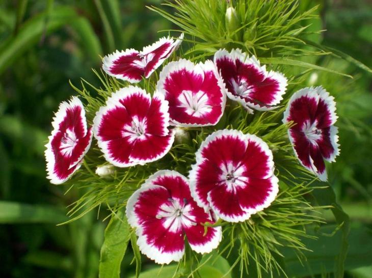 гвоздика выращивание из семян