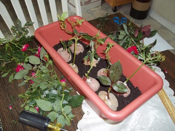Посадка черенков роз в картошку