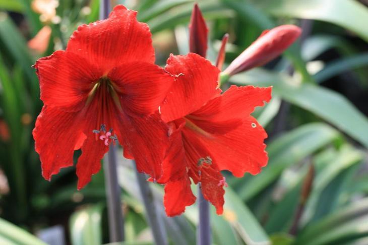 Цветок семейства амариллисовых