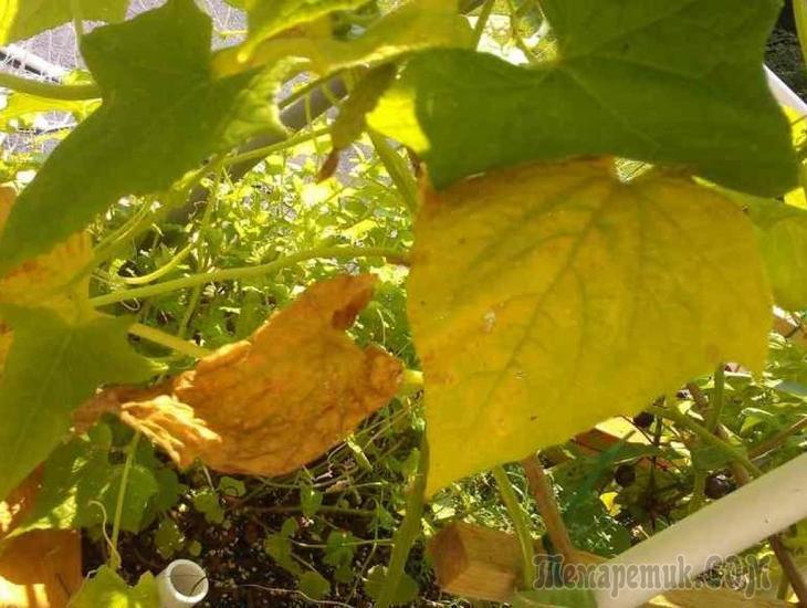 Почему у рассады огурцов скручиваются листья