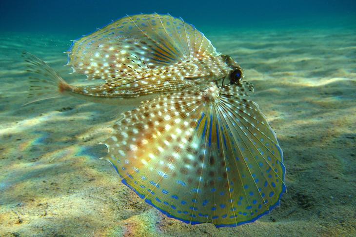 Средиземноморский долгопёр. (Beckmannjan)