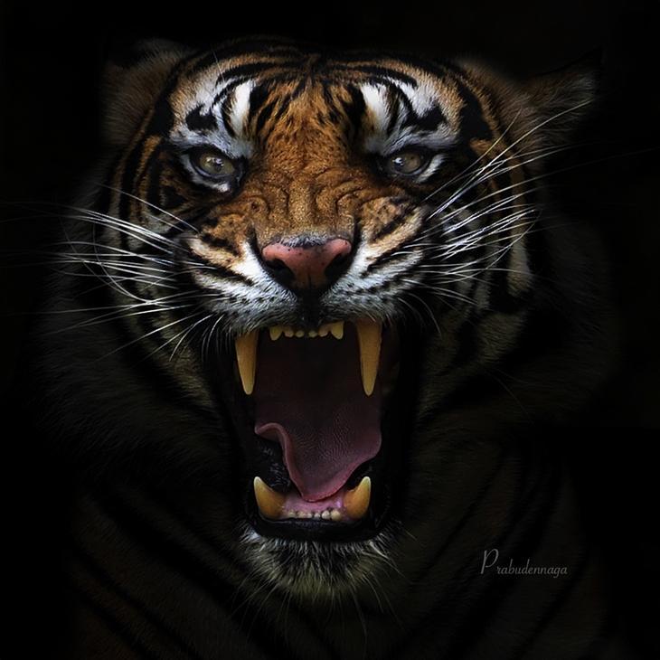 Тигры – дикий животный магнетизм в 30 потрясающих фотографиях 18