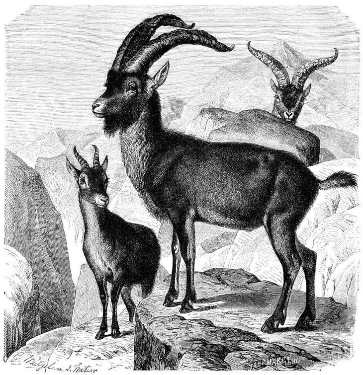 Пиренейский козерог животные, интересное, природа, человек