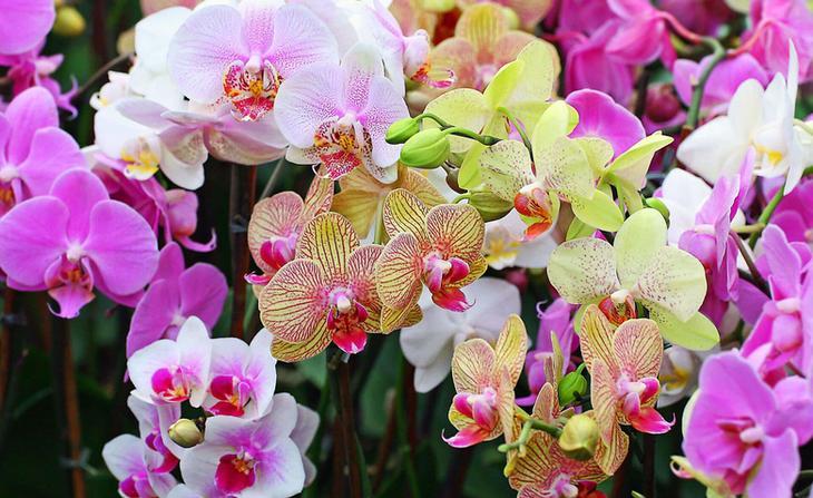 Когда нужно отсаживать детку орхидеи фаленопсис и как это сделать правильно