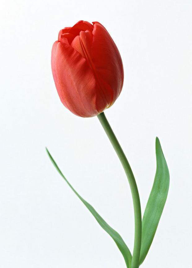 Сонник тюльпаны букет разноцветных