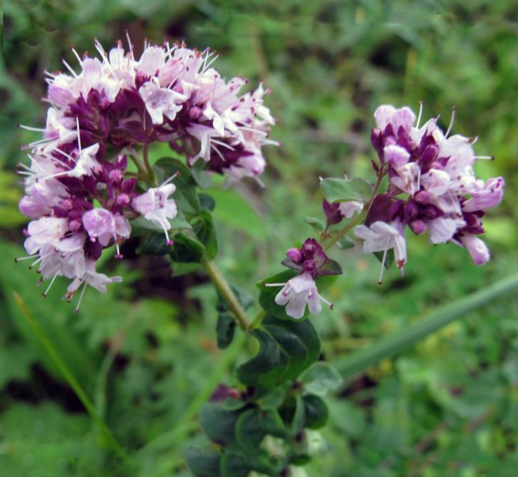 Душица обыкновенная лечебные свойства противопоказания трава фото