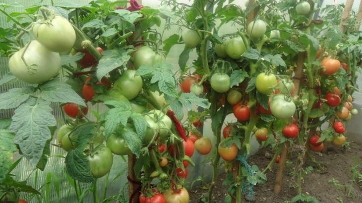 Как вырастить богатый урожай в теплице