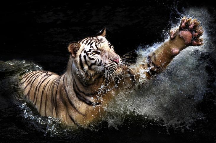 Тигры – дикий животный магнетизм в 30 потрясающих фотографиях 17