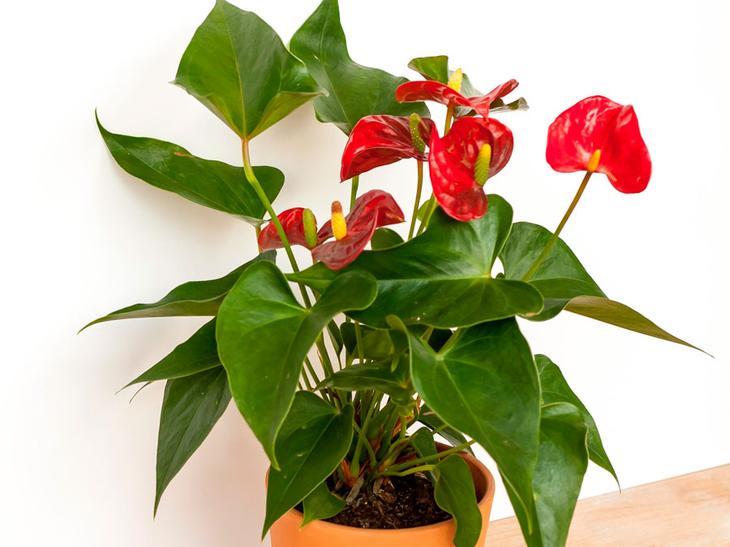 Цветок Мужское счастье: особенности ухода в домашних условиях