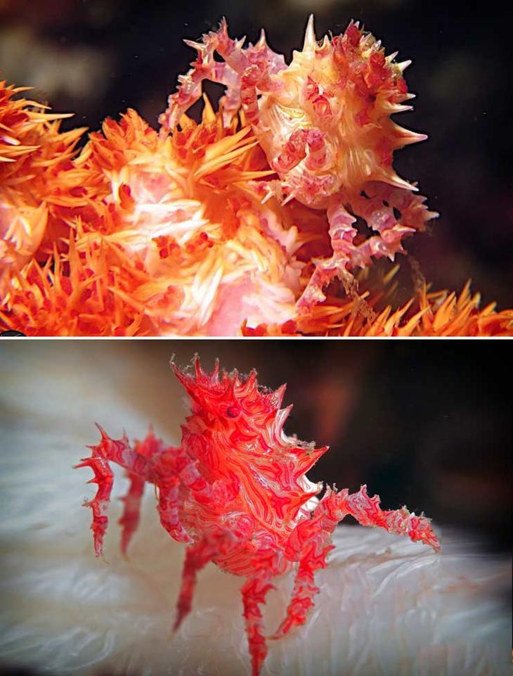 Карамельный краб. Красота созданная природой. Самые красивые животные планеты. Фото с сайта NewPix.ru