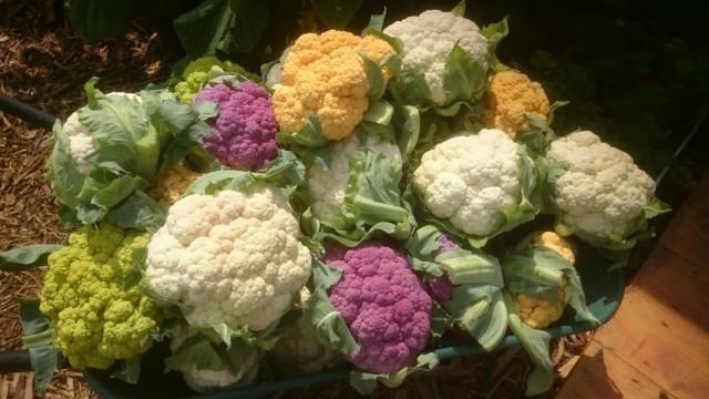 Цветная капуста на дачном участке как получить достойный урожай