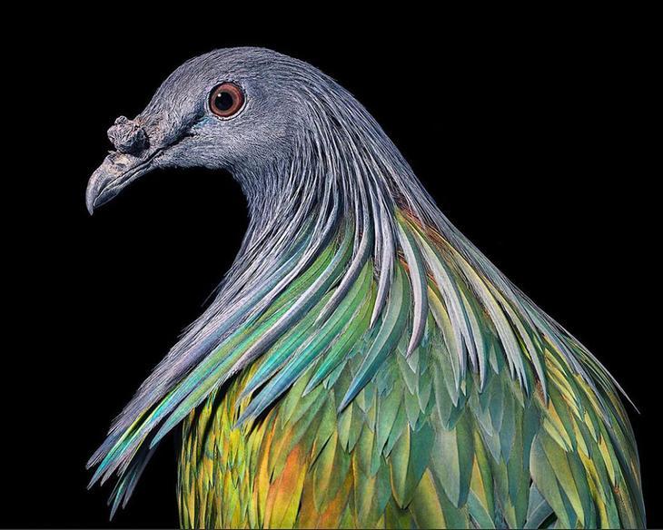 Гривистый голубь — единственный из живущих ныне гривистых голубей