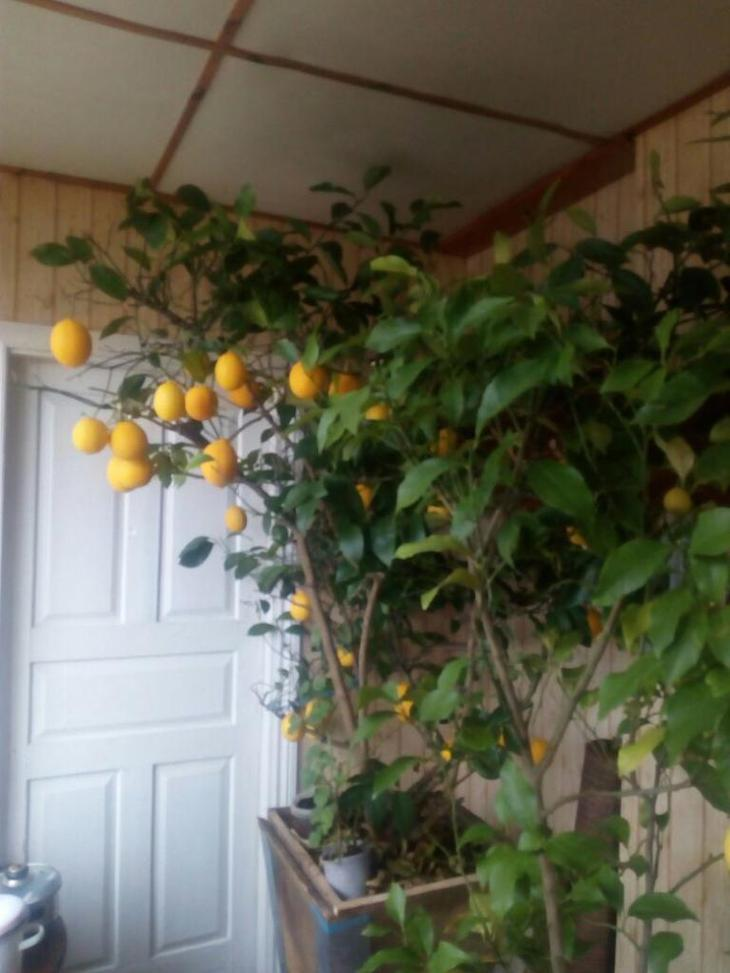 Дерево с лимонами