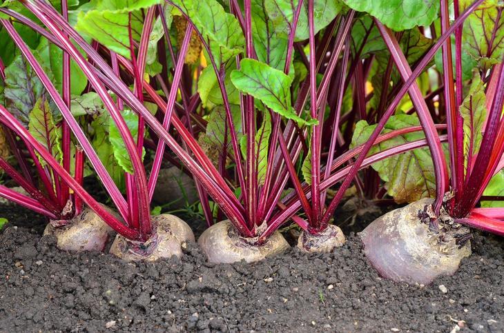 Как посадить свёклу семенами в весенний период в открытый грунт