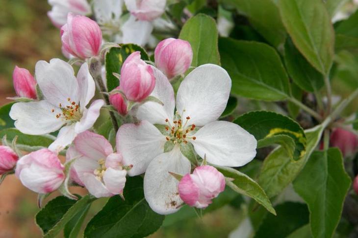 цветы яблони сливолистной