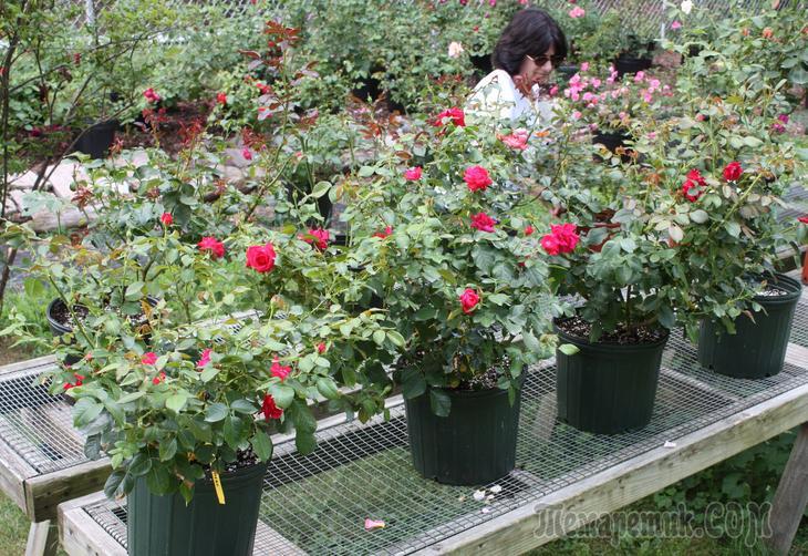 Роза в контейнере посадка и уход