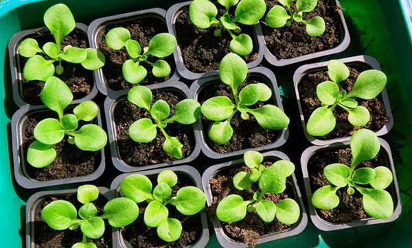 Правила посадки петунии на рассаду: когда сажать и как ухаживать