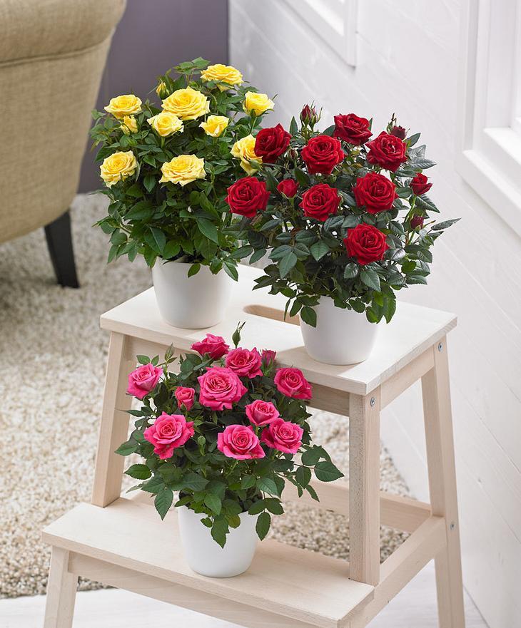 горшечная роза кордана
