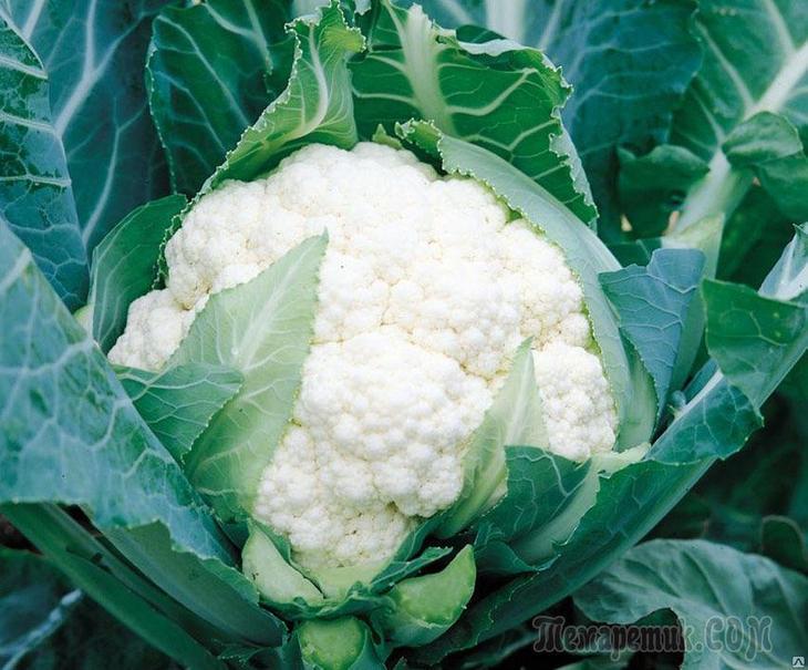 Как правильно подкармливать цветную капусту