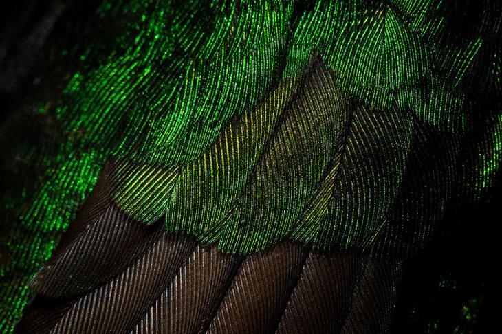 Бледнохвостый венценосный колибри