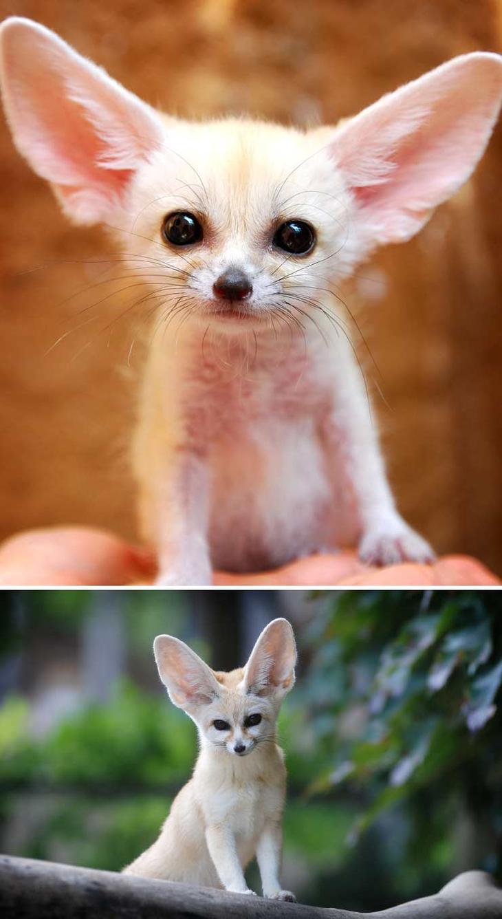 Фенек. Красота созданная природой. Самые красивые животные планеты. Фото с сайта NewPix.ru