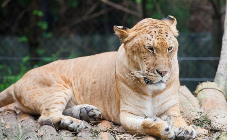 Лигр — гибрид льва (самца) и тигра (самки). (LH Wong)
