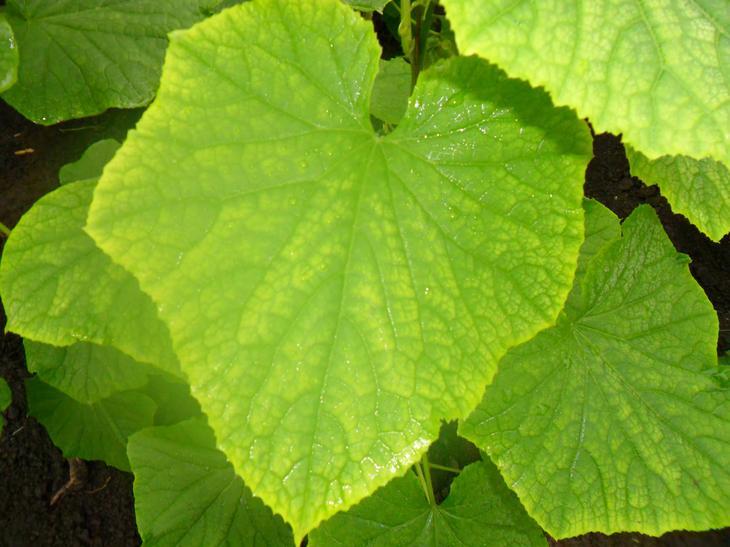 Что делать, если бледные листья у огурцов, чем подкормить