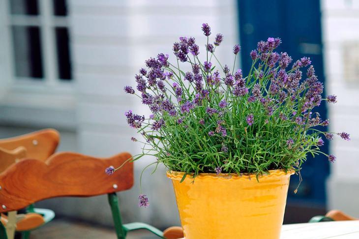 Можно ли выращивать лаванду как комнатное растение