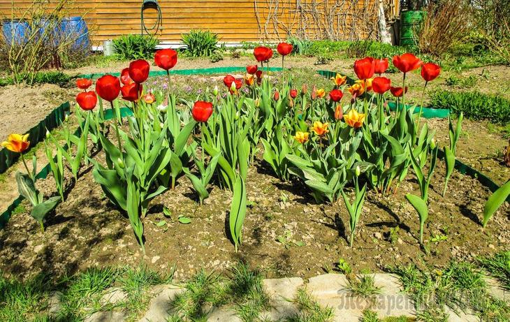 Сколько по времени растут тюльпаны