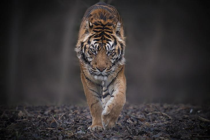 Тигры – дикий животный магнетизм в 30 потрясающих фотографиях 3