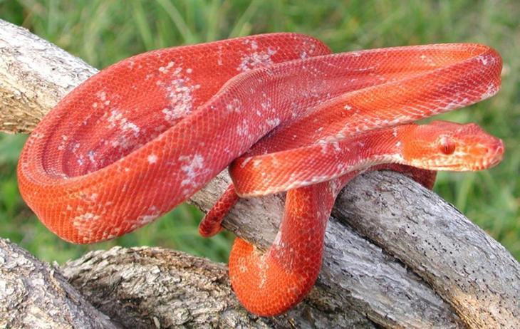 Садовый удав животные, красные животные, природа, цвет