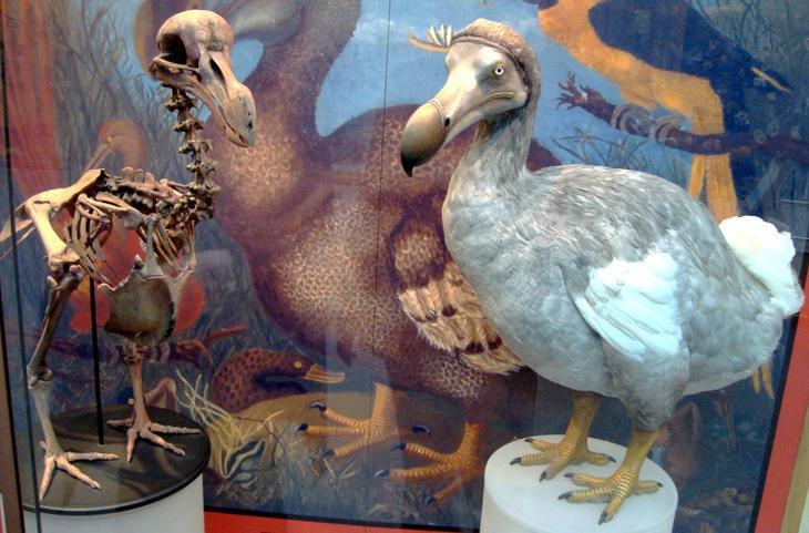 Додо, или маврикийский дронт животные, интересное, природа, человек