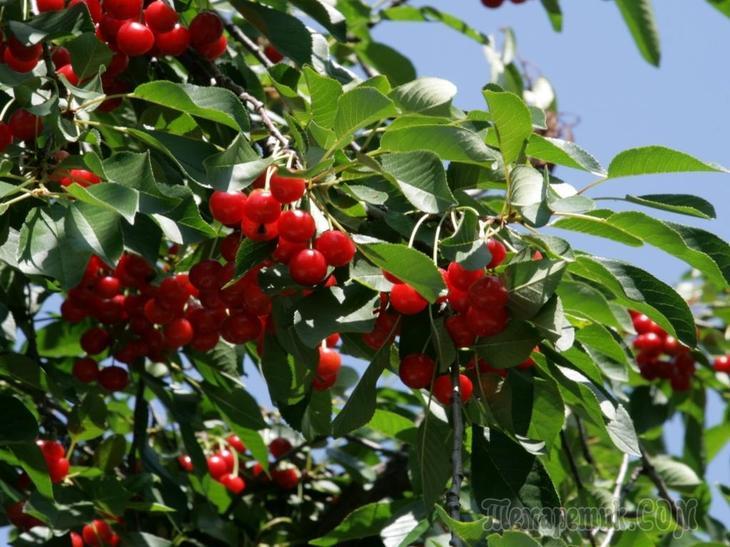Посадка вишни весной в Подмосковье