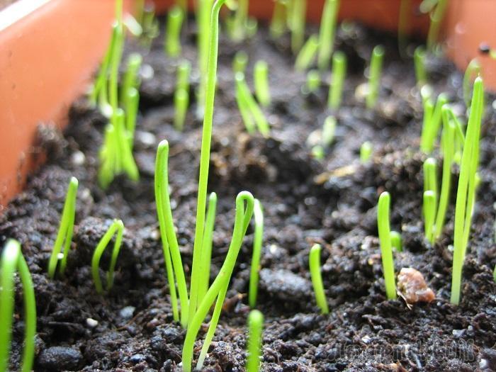 Лук-порей – посадка, уход и выращивание в открытом грунте