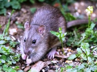 Какие растения не переносят мыши