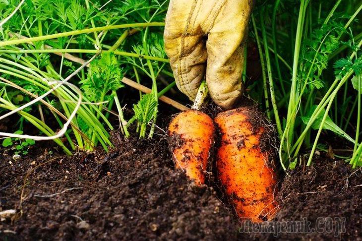 Как хранить морковь правильно: в погребе и квартире, в холодильнике и в подвале, мыту и свежую зимой