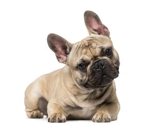 Уход за щенками французского бульдога и взрослой собакой