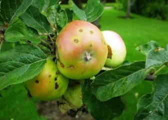 Как бороться с паршой на яблоне, что это за болезнь, способы лечения парши. Что делать, если появилась парша на яблоне, профилактика